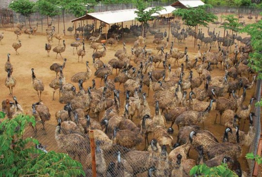 Emu Bird Farming